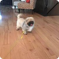 Adopt A Pet :: PEKICHU - WOODSFIELD, OH