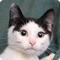 Adopt A Pet :: Domino - Colonial Heights, VA