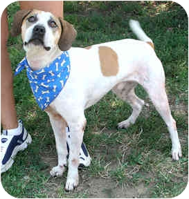 Beagle/Hound (Unknown Type) Mix Dog for adoption in Waukesha, Wisconsin - Mack