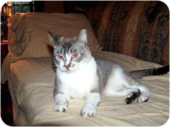 Tonkinese Cat for adoption in Fairhope, Alabama - Prince