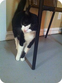 Domestic Shorthair Cat for adoption in Huntington Station, New York - ABBY