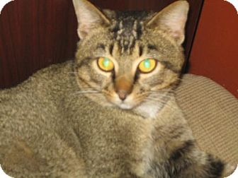 Domestic Shorthair Cat for adoption in Hilham, Tennessee - Lemur