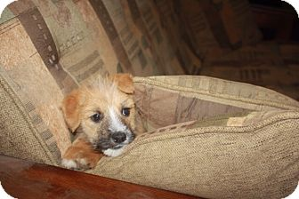 Australian Shepherd/Wheaten Terrier Mix Puppy for adoption in Studio City, California - Hansel