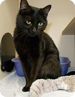 Domestic Shorthair Cat for adoption in Lincolnton, North Carolina - Alice