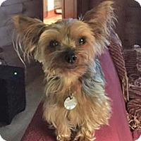 Adopt A Pet :: Lacey - Atlanta, GA