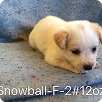 Adopt A Pet :: Snowball - Trenton, NJ