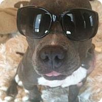 Adopt A Pet :: Boss - Rocky Hill, CT