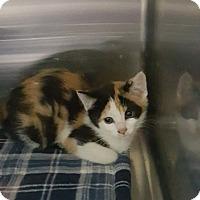 Adopt A Pet :: Agatha - Cody, WY