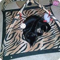 Adopt A Pet :: Tot - Warren, MI