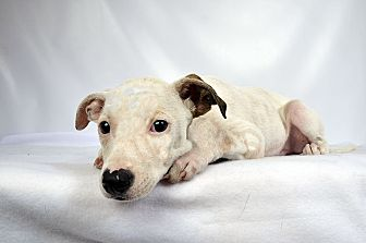 Terrier (Unknown Type, Small) Mix Puppy for adoption in St. Louis, Missouri - Frank Terrier Mix