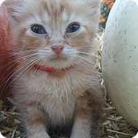Domestic Shorthair Kitten for adoption in Oakland, Michigan - Rudy