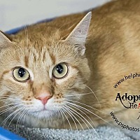 American Shorthair Cat for adoption in Belton, Missouri - Anna Jane
