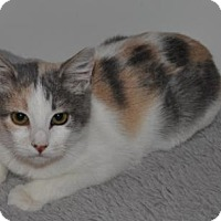Domestic Shorthair Kitten for adoption in O'Fallon, Missouri - Shenanigan
