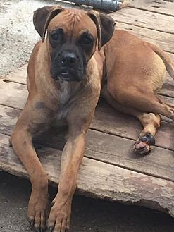 Boxer Mix Dog for adoption in Del Rio, Texas - Fender