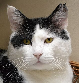 Domestic Shorthair Cat for adoption in Independence, Missouri - Buster