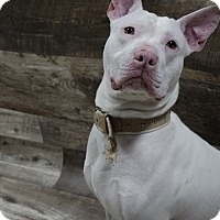 Pit Bull Terrier Mix Dog for adoption in Muskegon, Michigan - Kaid