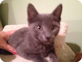 Domestic Shorthair Kitten for adoption in East Hanover, New Jersey - Mercedes