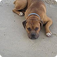 Bullmastiff/Boxer Mix Dog for adoption in Sherman Oaks, California - Bruno