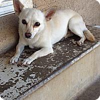 Adopt A Pet :: Foxy - Van Nuys, CA