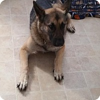 German Shepherd Dog Dog for adoption in Greensboro, North Carolina - Xena(CL)