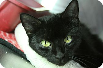 Domestic Shorthair Cat for adoption in Sarasota, Florida - Rosalita