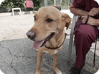 Labrador Retriever Mix Dog for adoption in Cambridge, Ontario - Harley