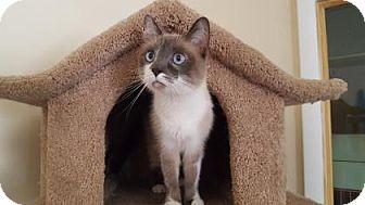 Snowshoe Cat for adoption in Tucson, Arizona - Meela