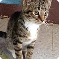 Domestic Shorthair Cat for adoption in San Diego, California - Angelus