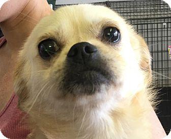 Pekingese Mix Dog for adoption in Joliet, Illinois - Cheech