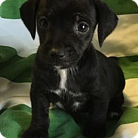 Chihuahua/Dachshund Mix Puppy for adoption in Los Angeles, California - Geppetto