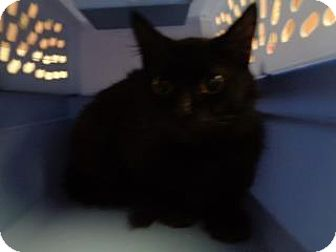 Domestic Mediumhair Cat for adoption in St Augustine, Florida - Juliet