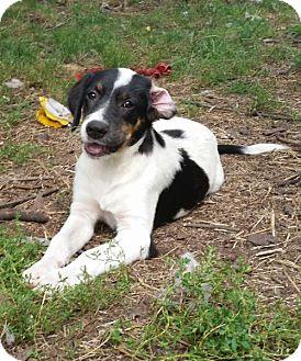 Labrador Retriever/Hound (Unknown Type) Mix Puppy for adoption in New Hartford, New York - Adorable Hound Lab Pups