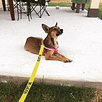 Adopt A Pet :: Shelby - Austin, TX