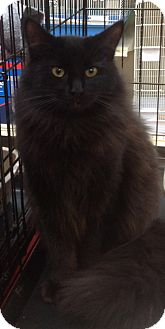 Domestic Longhair Cat for adoption in Modesto, California - Moonlight
