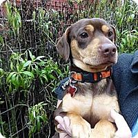 Adopt A Pet :: APOLLO - Portland, OR