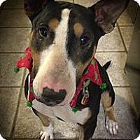 Adopt A Pet :: Raider - Sachse, TX