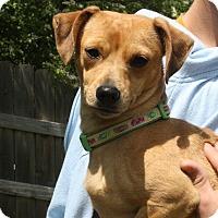 Adopt A Pet :: Sassy - Joplin, MO