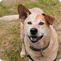 Adopt A Pet :: Dusty - Petaluma, CA