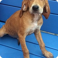 Adopt A Pet :: AMOS - Rossford, OH