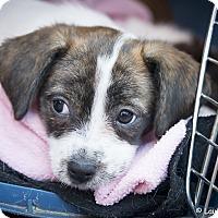 Adopt A Pet :: Dora - San Marcos, CA