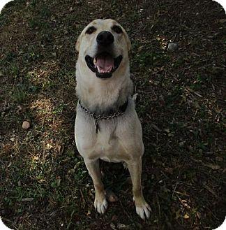 Labrador Retriever Mix Dog for adoption in Cedar Creek, Texas - Rex