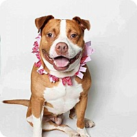 Pit Bull Terrier Mix Dog for adoption in Durham, North Carolina - Griffon