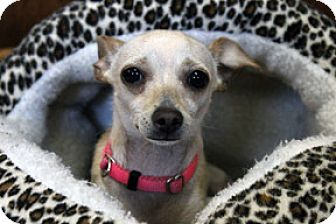 Chihuahua Dog for adoption in Jamestown, California - Chloe