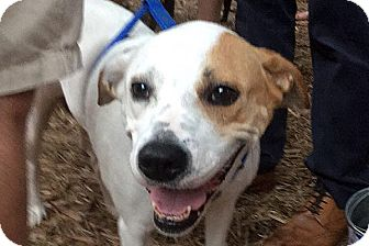 Hound (Unknown Type)/Boxer Mix Dog for adoption in Durham, North Carolina - Penny