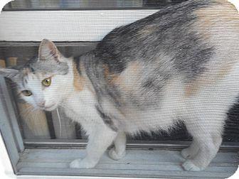 Domestic Shorthair Cat for adoption in Northfield, Ohio - Unique