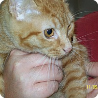 Domestic Shorthair Cat for adoption in Mexia, Texas - Junebug