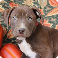 Labrador Retriever Mix Puppy for adoption in East Dover, Vermont - Zach - REDUCED