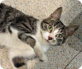 Domestic Shorthair Kitten for adoption in Troy, Michigan - Toby