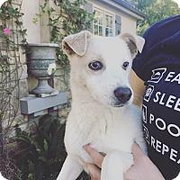 Adopt A Pet :: Jayce - Thousand Oaks, CA