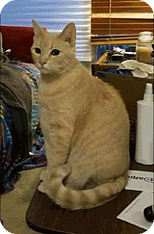Domestic Shorthair Cat for adoption in Houston, Texas - Roll